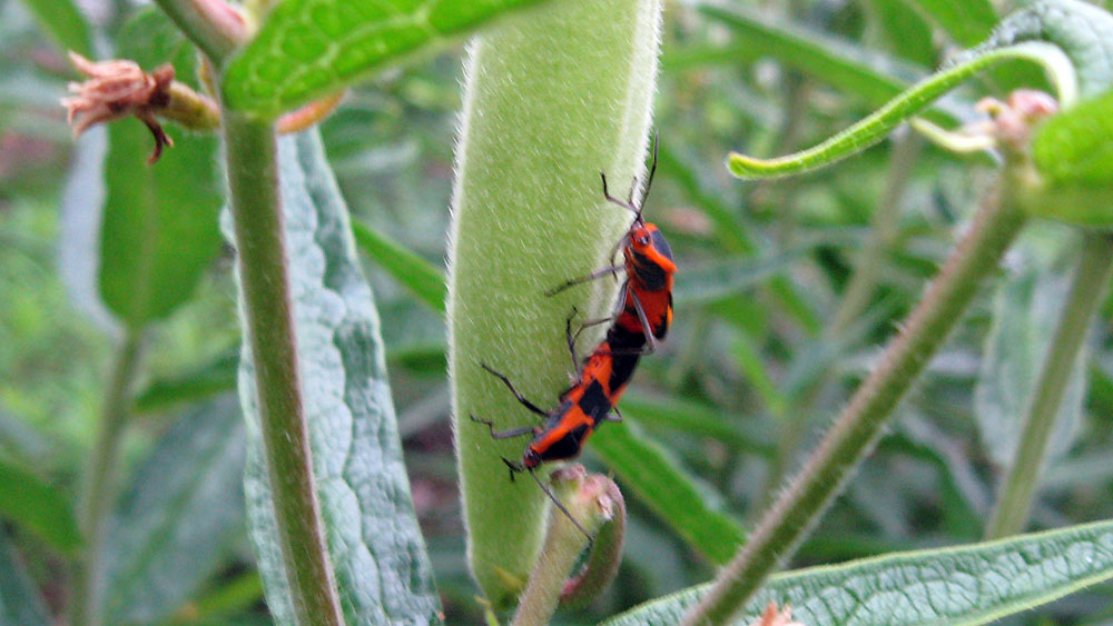 Milkweed Bugs (Oncopeltus fasciatus) mating on seed pod of Butterfly Weed (Asclepias tuberosa)