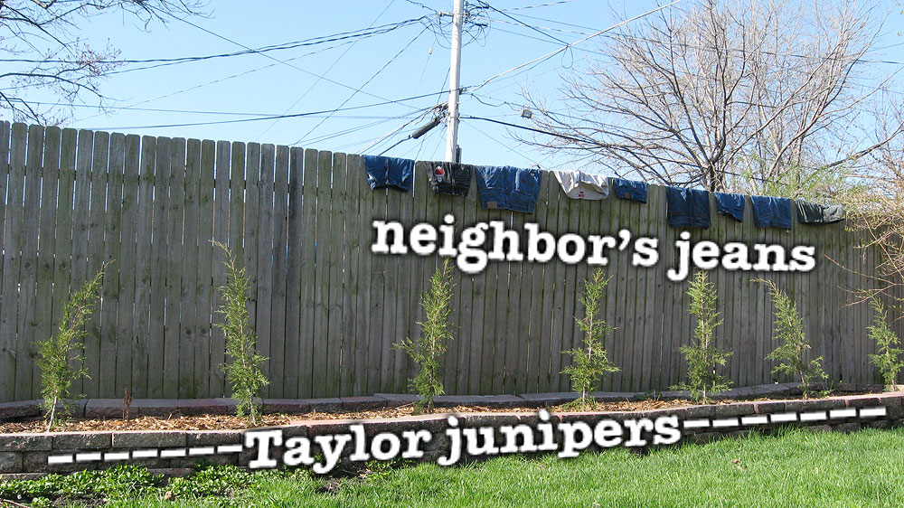 Taylor juniper bushes (juniperus virginiana) and jeans on our backyard fence