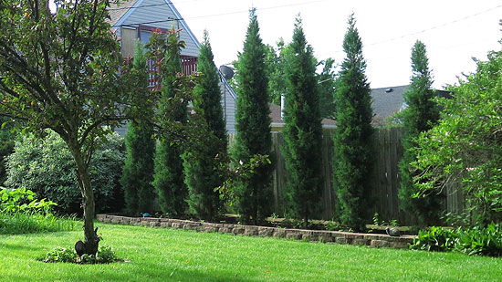 Taylor Juniper bushes