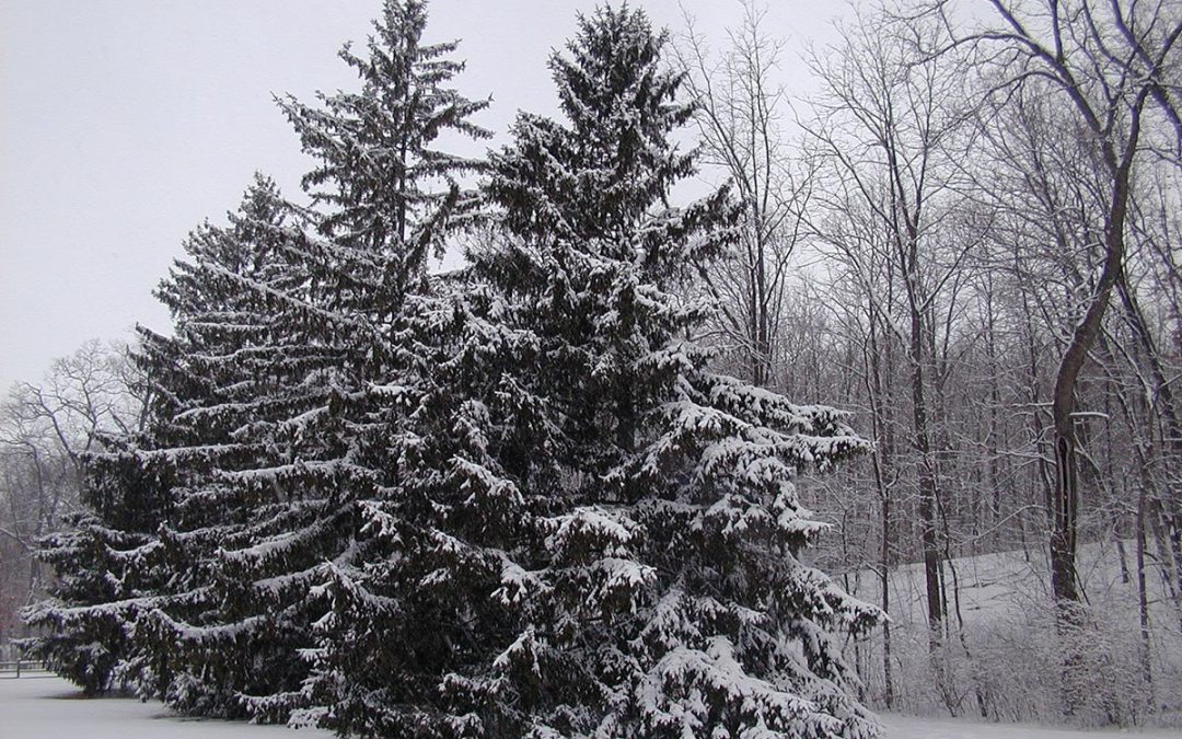 Petrifying Springs: Snow-covered conifers