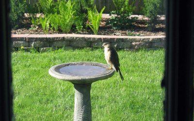 Cooper's Hawk on backyard birdbath, Racine, Wisconsin