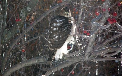 Cooper's Hawk in crabapple tree, Racine, Wisconsin