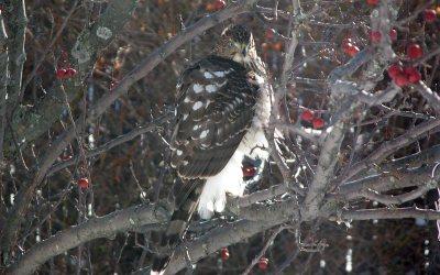 Cooper's Hawk in crabapple tree, Racine, Wisconsin