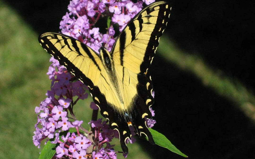 Tiger Swallowtail on Butterfly Bush, Racine, Wisconsin
