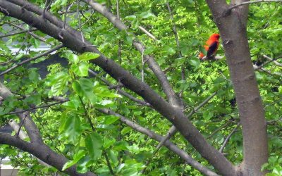 Scarlet Tanager in our mulberry tree, Racine, Wisconsin