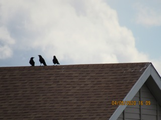 Crows look around, thinking of expanding their territory, or needing to?
