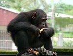 Chimpanzee in Cameroon
