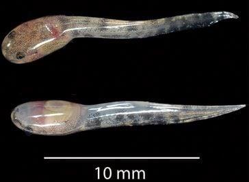 L. larvaepartus tadpoles
