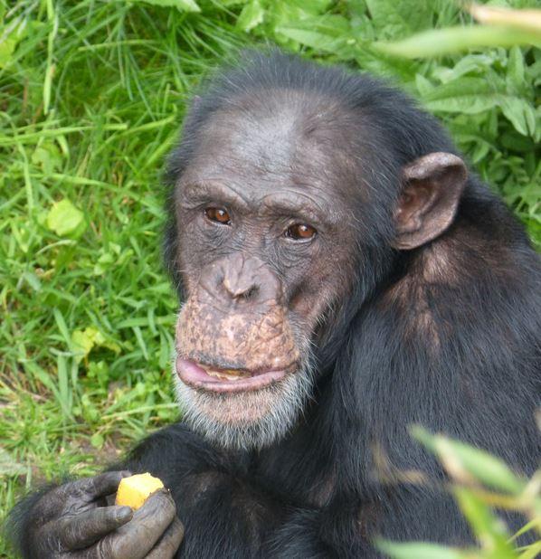 Chimpanzee Frek
