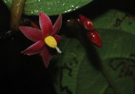 Sirdavidia solannona, open flower and flower buds