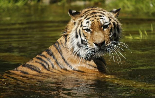 Tiger swimming