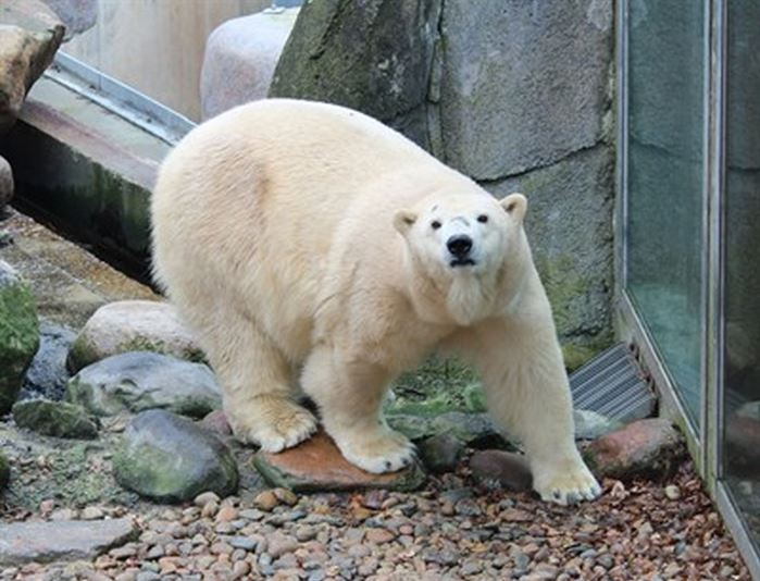 Female polar bear Victoria