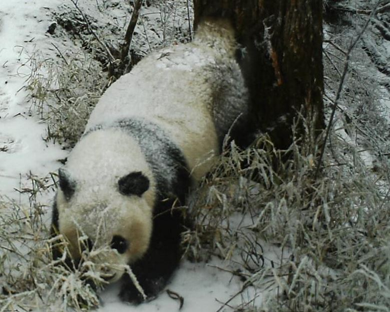 Panda leaving scent marking