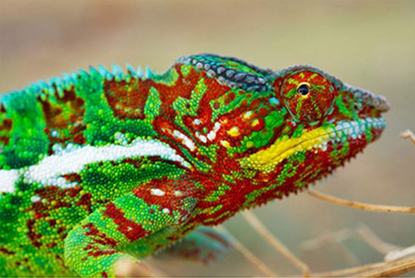 Panther chameleon vivid colours