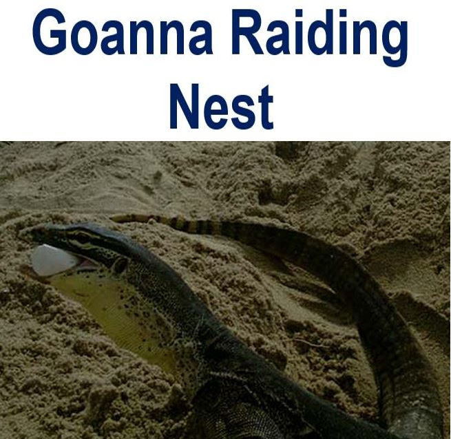 Goanna raiding turtle nest