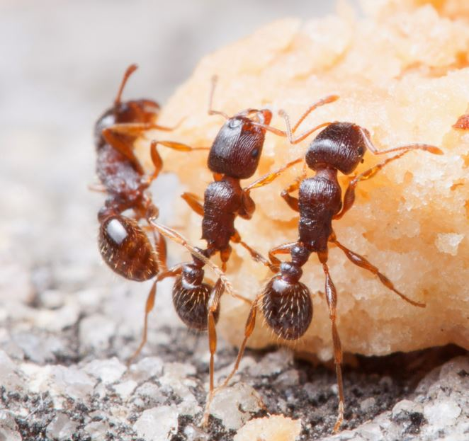 Pavement ants eating junk food