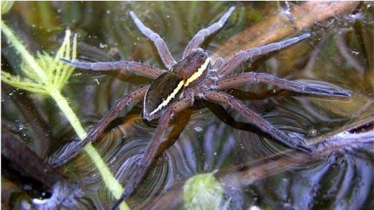 Fen Raft Spider