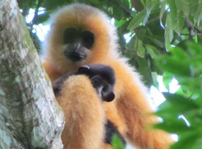 Hainan gibbons primate species under threat