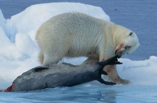 Polar bear catching prey