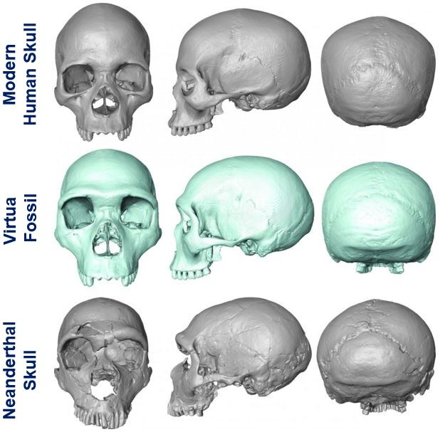 Common ancestor modern human and Neanderthal skulls