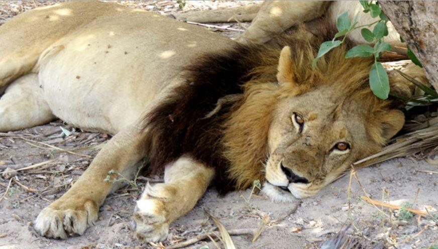 Lioness Mmamoriri with a mane