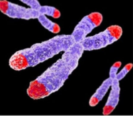 Shorter lifespan linked to telomere length