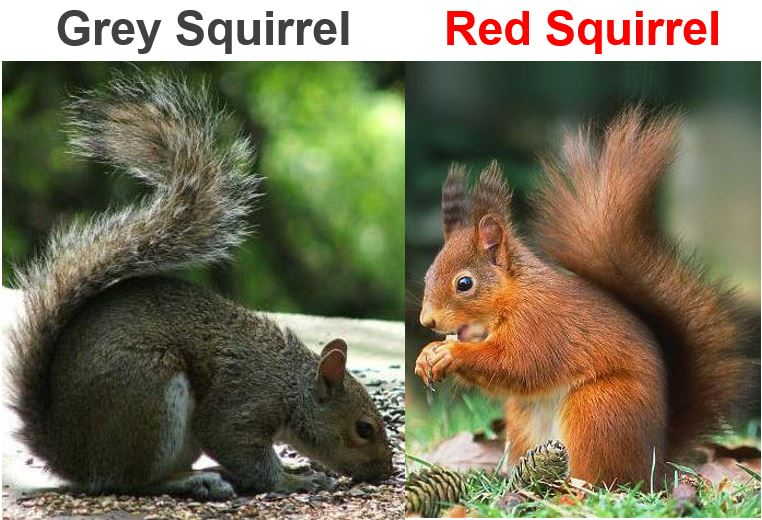 Grey Squirrel and Red Squirrel