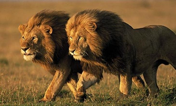 Outcry against lion hunt raffle