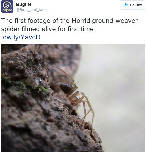 Horrid ground weaver spider filmed for first time ever