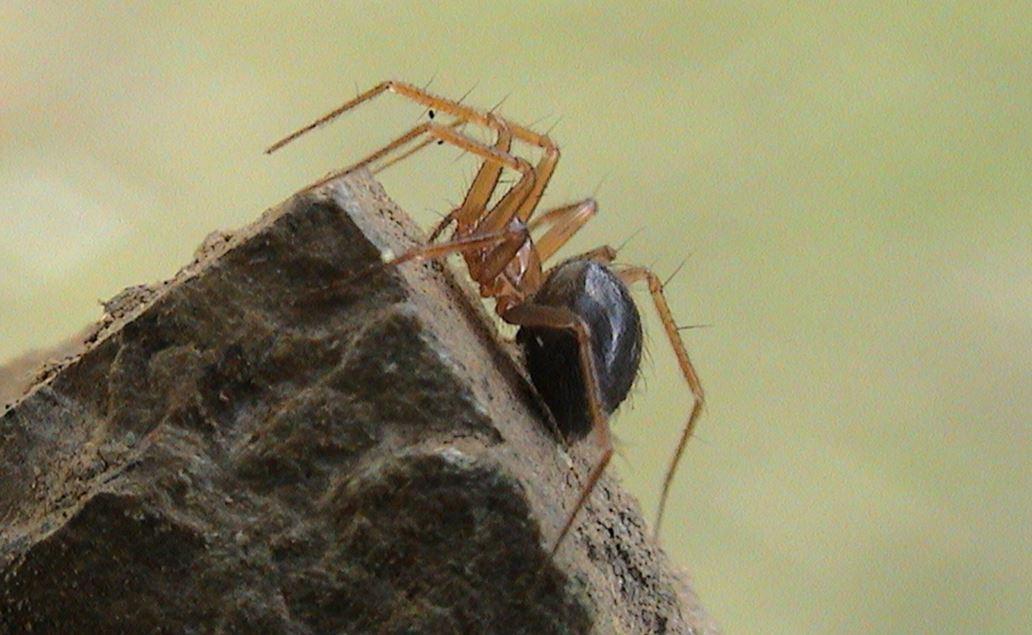 Horrid ground weaver spider
