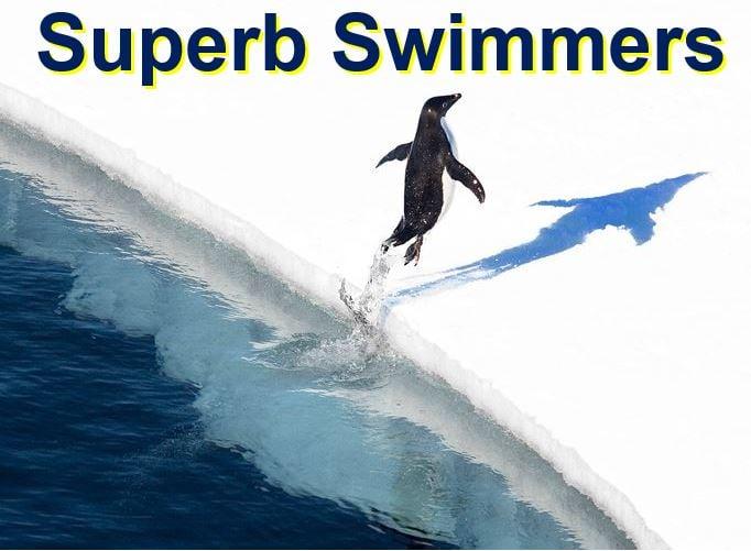 Superb swimmers penguins