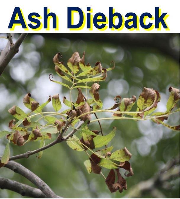 Ash dieback a killer fungus