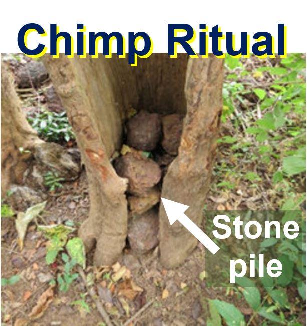 Chimp Ritual