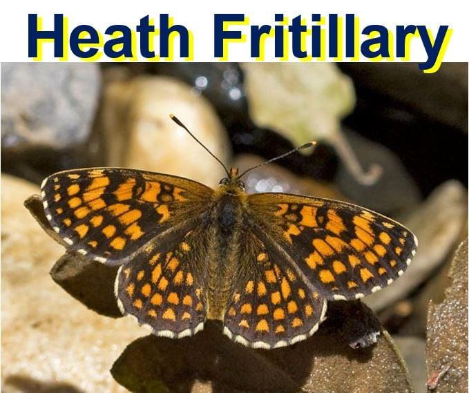 Heath Fritillary