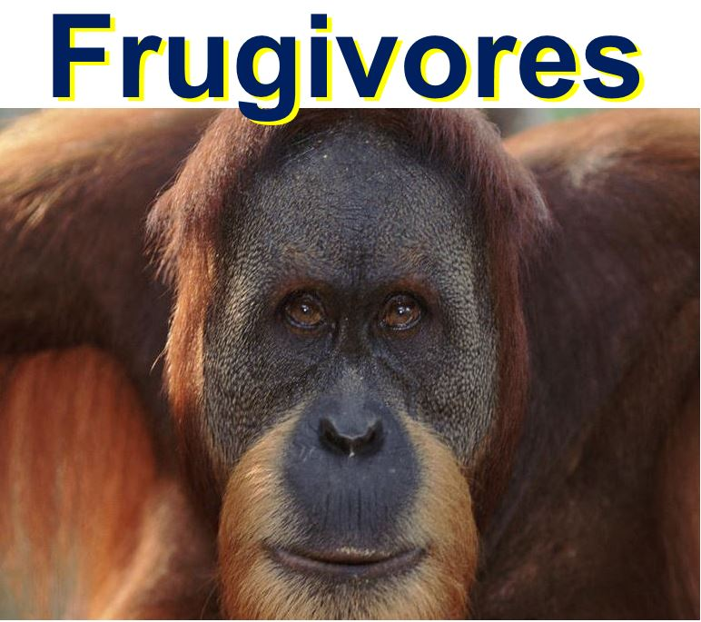 Orangutans are frugivores