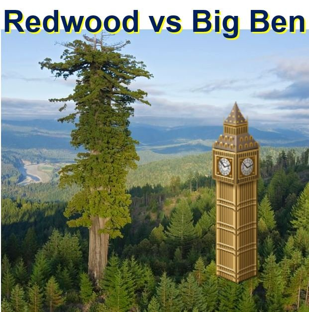 Redwood much taller than Big Ben