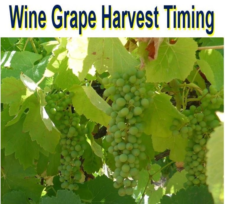 Wine grape harvest timing