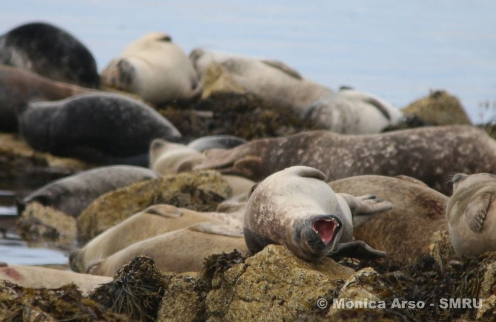 Harbour seals on rocks