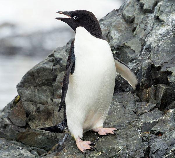 Adelie penguin pic