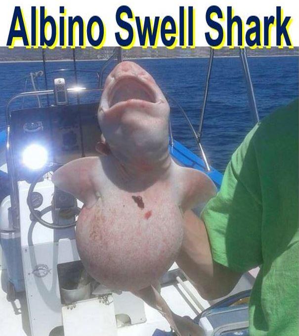 Albino Swell Shark
