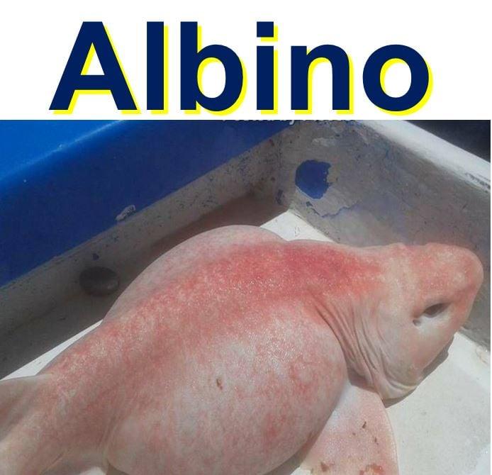 Albino swell shark that frightened fisherman