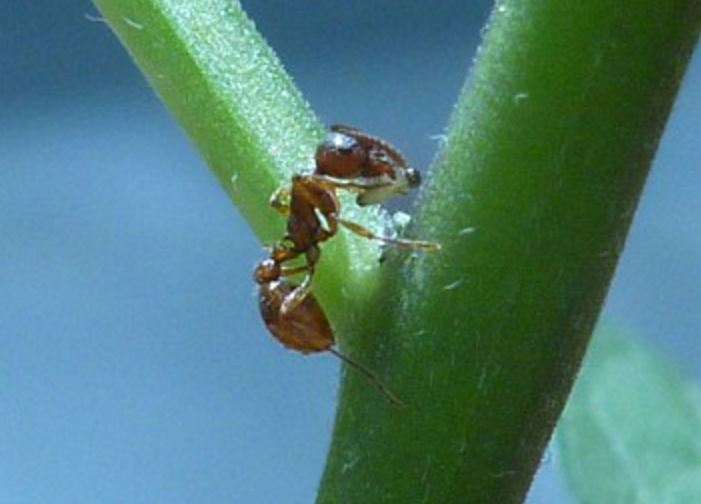Ants eat beetle larvae