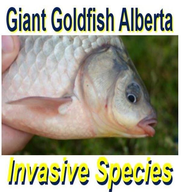 Giant goldfish invasion in Alberta