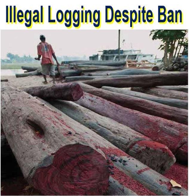 Illegal logging despite ban in Madagascar