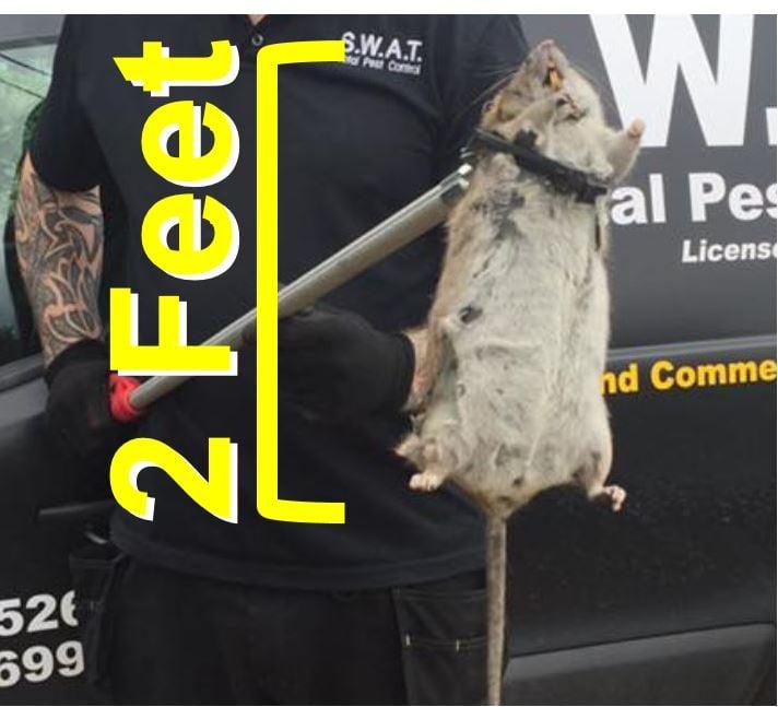 Mega giant rat caught