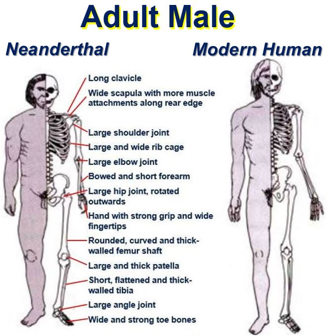 Neanderthal vs Human adult male