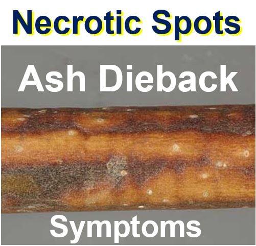 Necrotic spots ash dieback