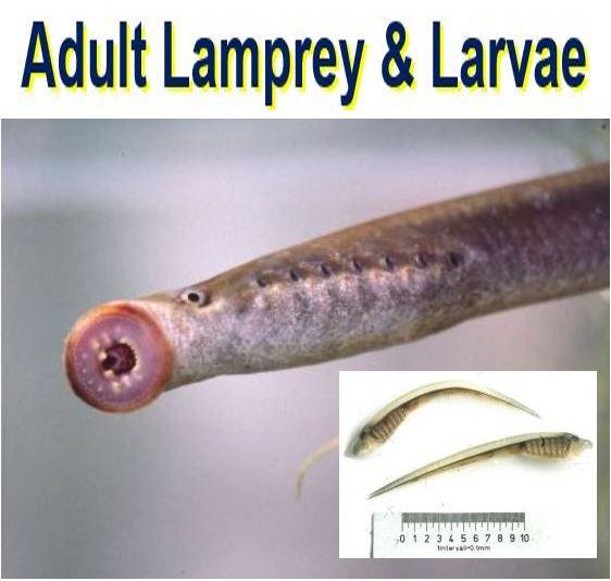 Adult lamprey and larvae