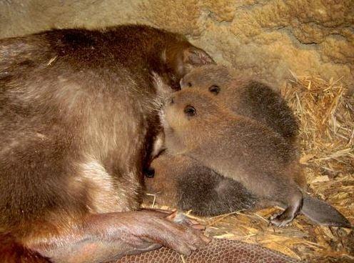 Beaver with kits