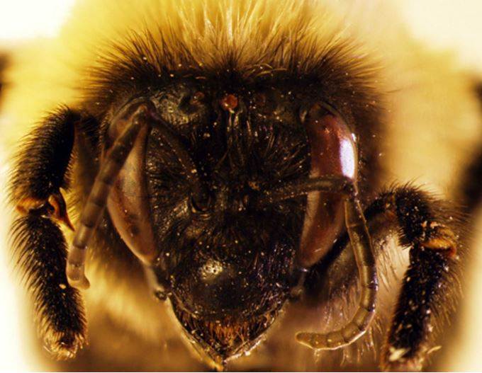 Bumblebee head covered in tiny hairs
